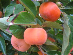 persimmons, Fuyu persimmon